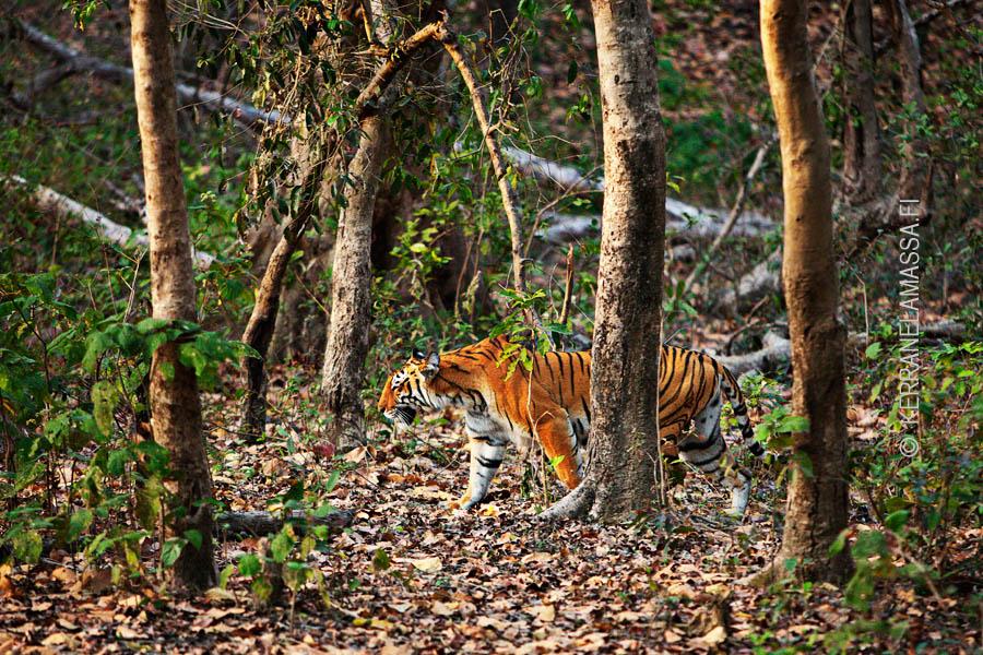 Tiikeri, Intia