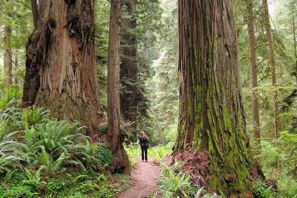 Redwood Kalifornia