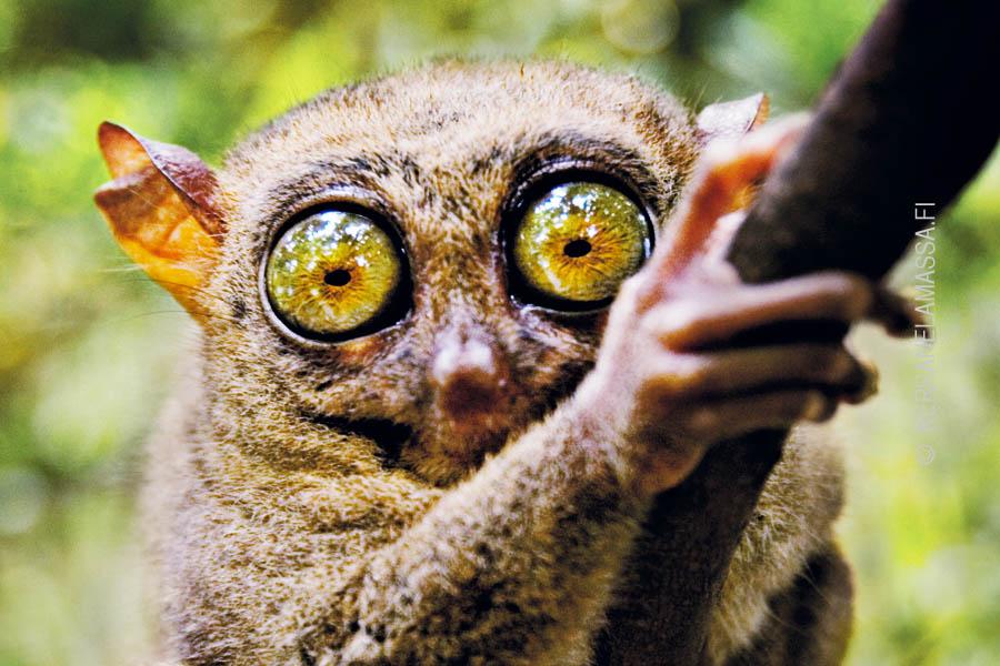 Filippiinit tarsier
