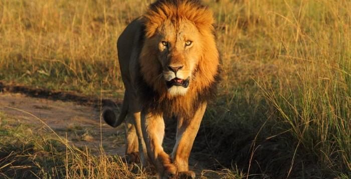 leijona-maasai-mara