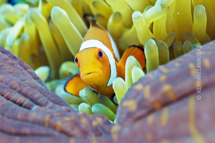 Merivuokot ja vuokkokalat ovat tuttu näky Indonesian vesissä. Kuva: Ville Palonen.