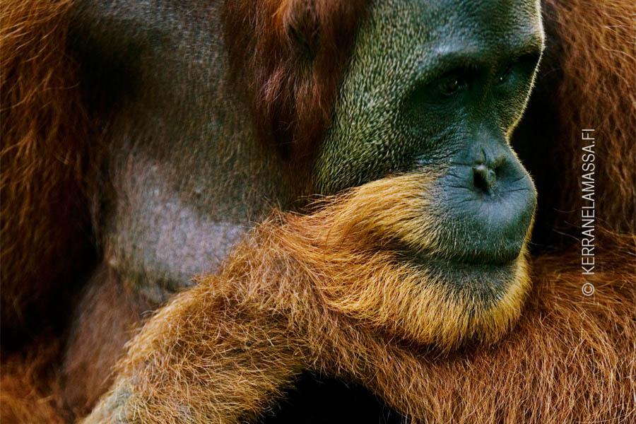 Sumatra oranki