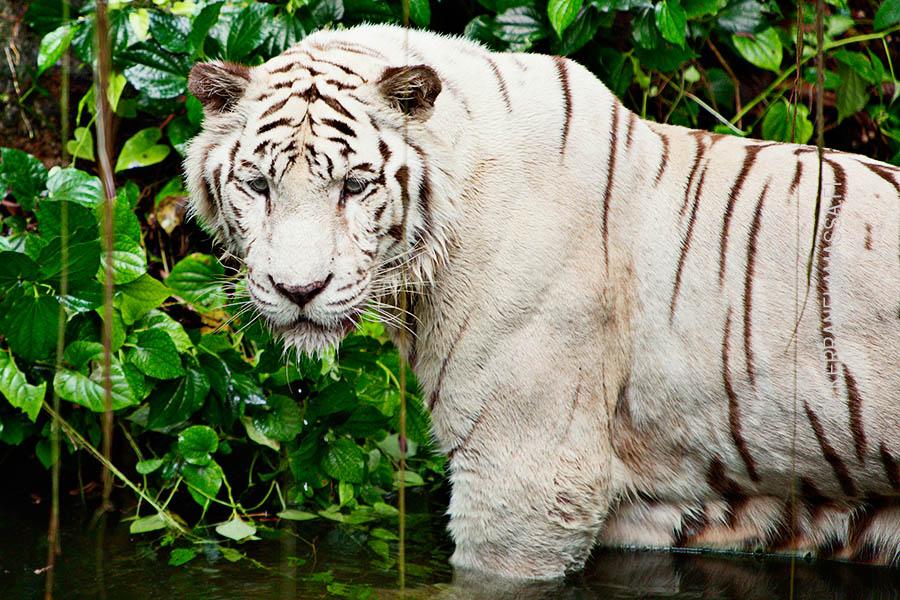 Singaporen eläintarhan valkoinen tiikeri.