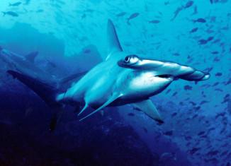 vasarahai-sukellus