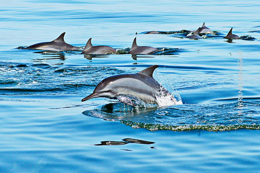 Muscatin edustalla voi bongata satojen delfiinien parvia.