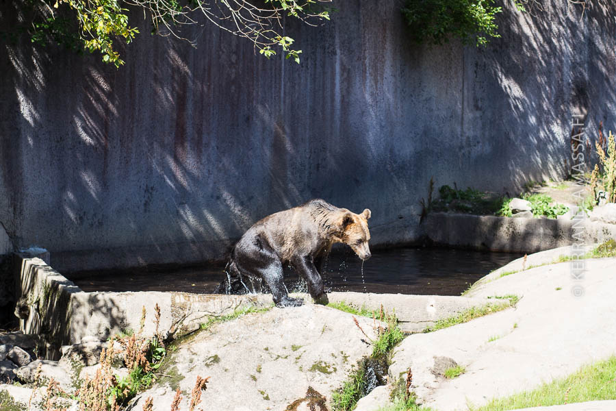 Karhut kuuluvat Ähtärin kohokohtiin. Yksi karhuista tunnetaan jopa ympäri maailmaa joogaliikkeistään.