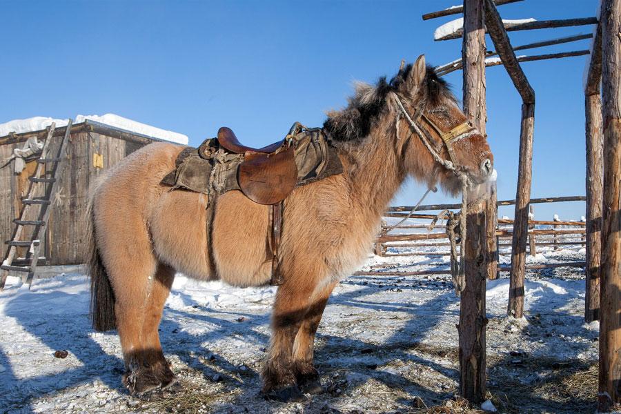 Jakutialaiset hevoset kestävät hyvin kylmää. Kuva: Maarten Takens, Flickr CC