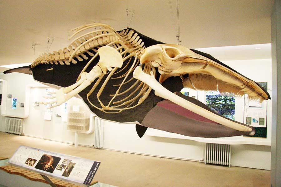 Valaisiin voi tutustua lisää myös Husavikin valasmuseossa. Kuva VisitHusavik, Flickr CC