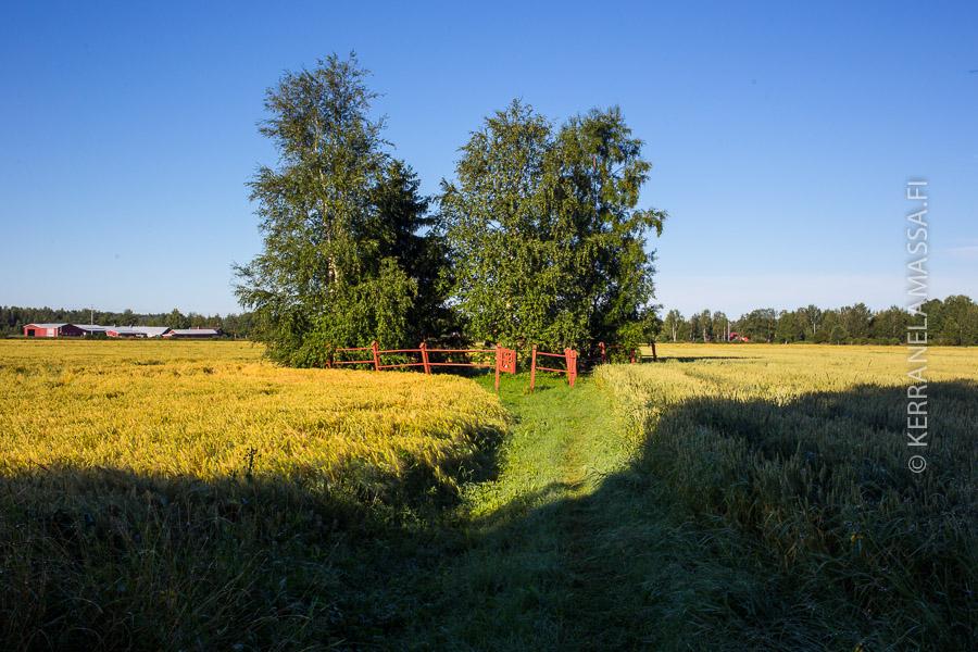Levänluhdan kalmisto on pellon keskellä.