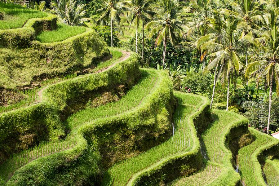 Balin sisämaata koristavat kauniit riisiterassit.