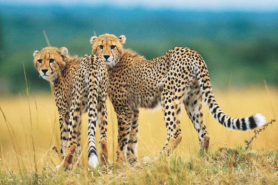 Gepardin, maailman nopeimman juoksijan, näkeminen on yksi Etelä-Afrikan safarien kohokohdista.