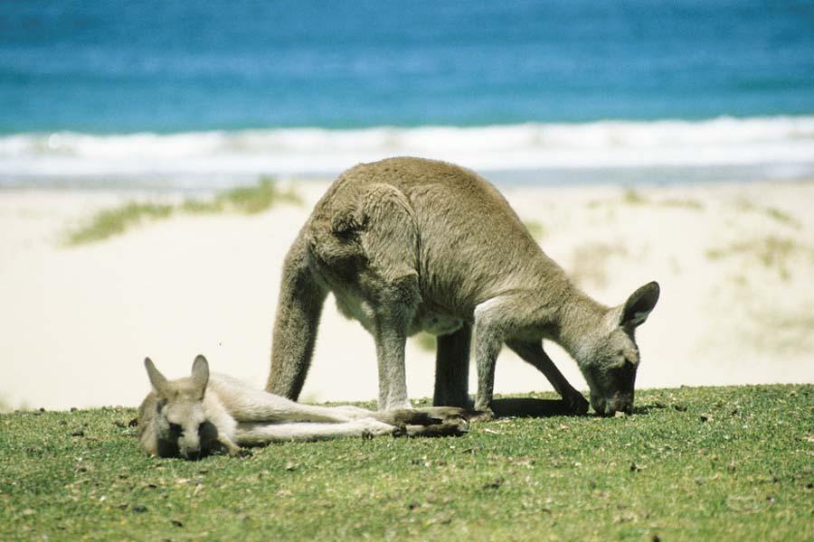 Australian Kangaroo Island on parhaita paikkoja tutustua kenguruihin.