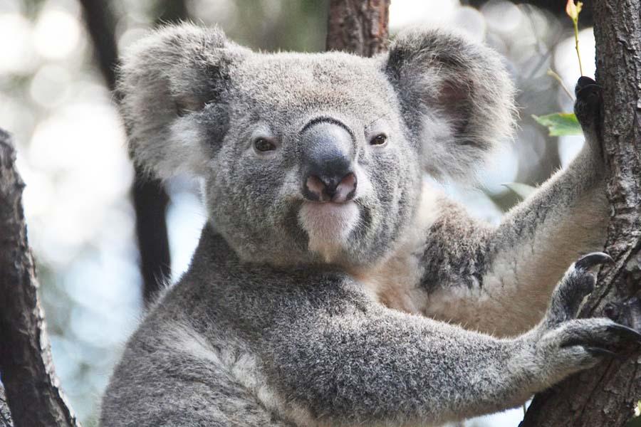 Kuka voisi vastustaa sympaattisten koaloiden lumoa?