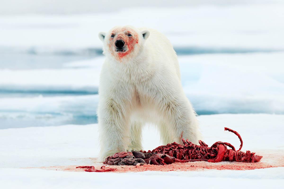 huippuvuoret jääkarhu syömässä