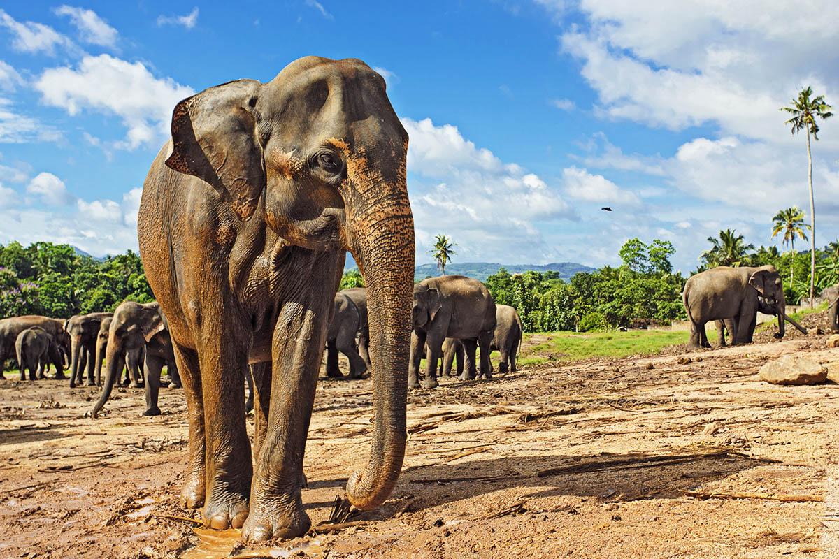 Sri Lanka norsu