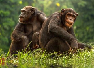 bonobo apina