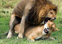 leijona seksi
