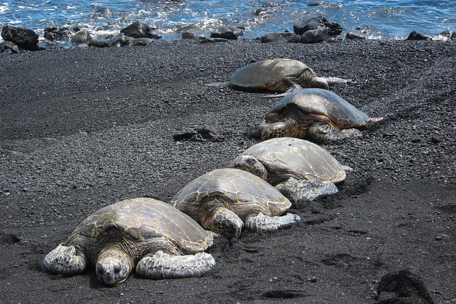 havaiji kilpikonnat