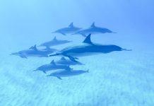 Havaiji Big Island delfiinit