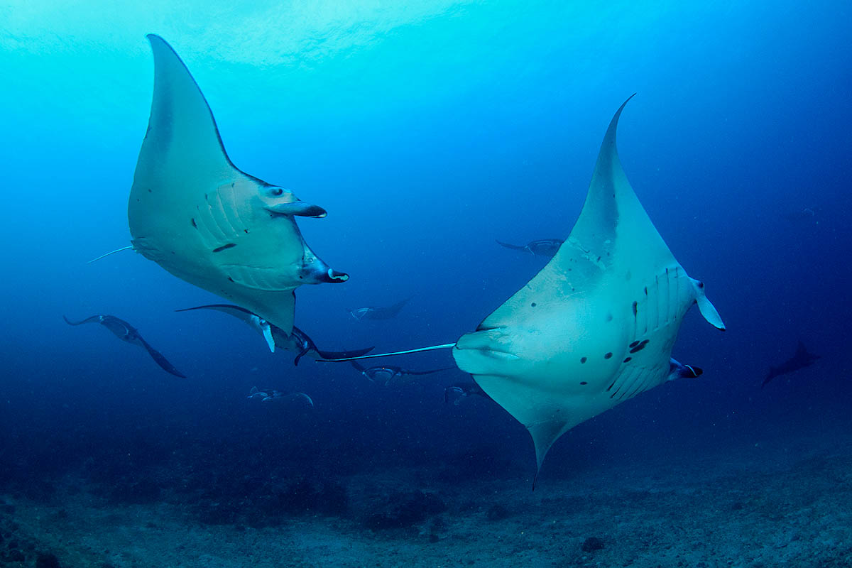 Komodo flores manta ray