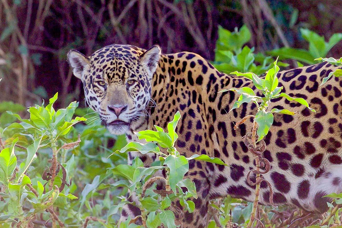 Brasilia Pantanal
