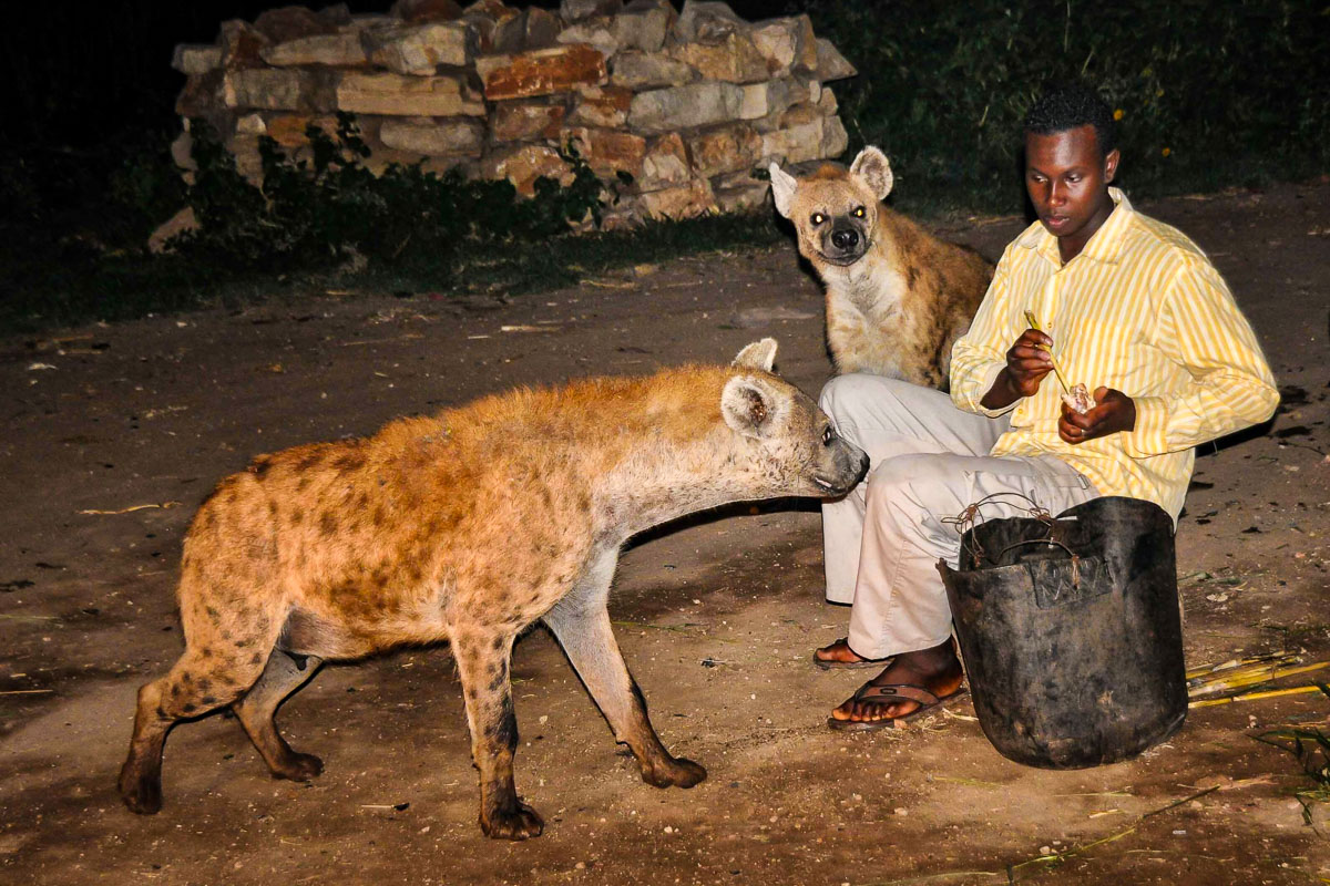 Harar hyeena