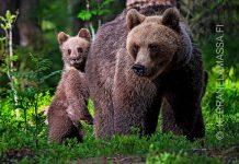 Suomussalmi karhut