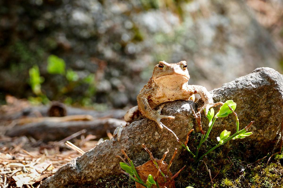 Helvetinjärvi sammakko