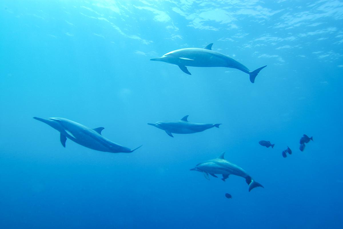 Fernando de Noronha delfiinit