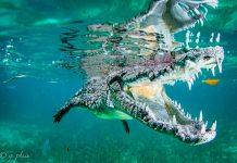 Krokotiili uiminen